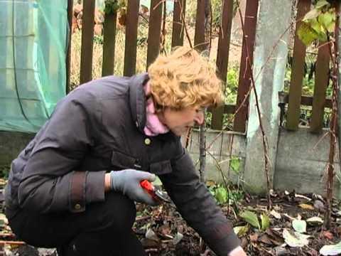 Как правильно сажать голубику