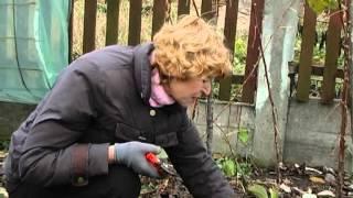 Обрезка малины. Тетянина садиба 2012(о том как малину готовить к зиме, обрезка кустов., 2012-12-14T21:39:08.000Z)