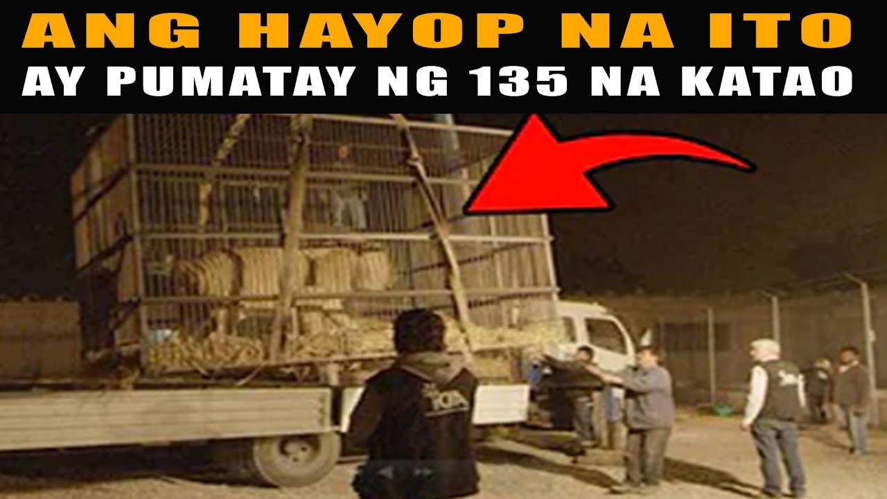 Ang 2 LEON na kinatakutan sa Africa na pumatay ng 135 na Construction Workers   Lion of Tsavo