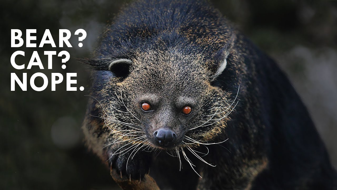 binturongs-smell-like-popcorn
