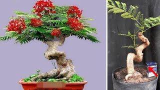 MÊ TÍT những chậu bonsai hoa phượng đỏ!