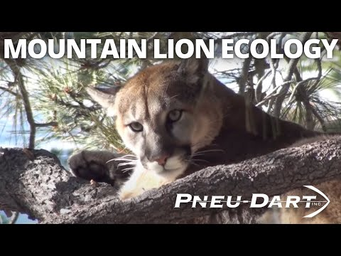 Pneu-Dart: Mountain Lion Ecology