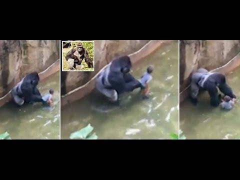 Gorilla Shot Dead In Cincinnati Zoo After 4-Year-Old Falls Into Enclosure