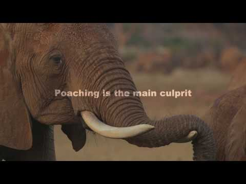 IFAW supported research finds elephant populations 25% of what they should be