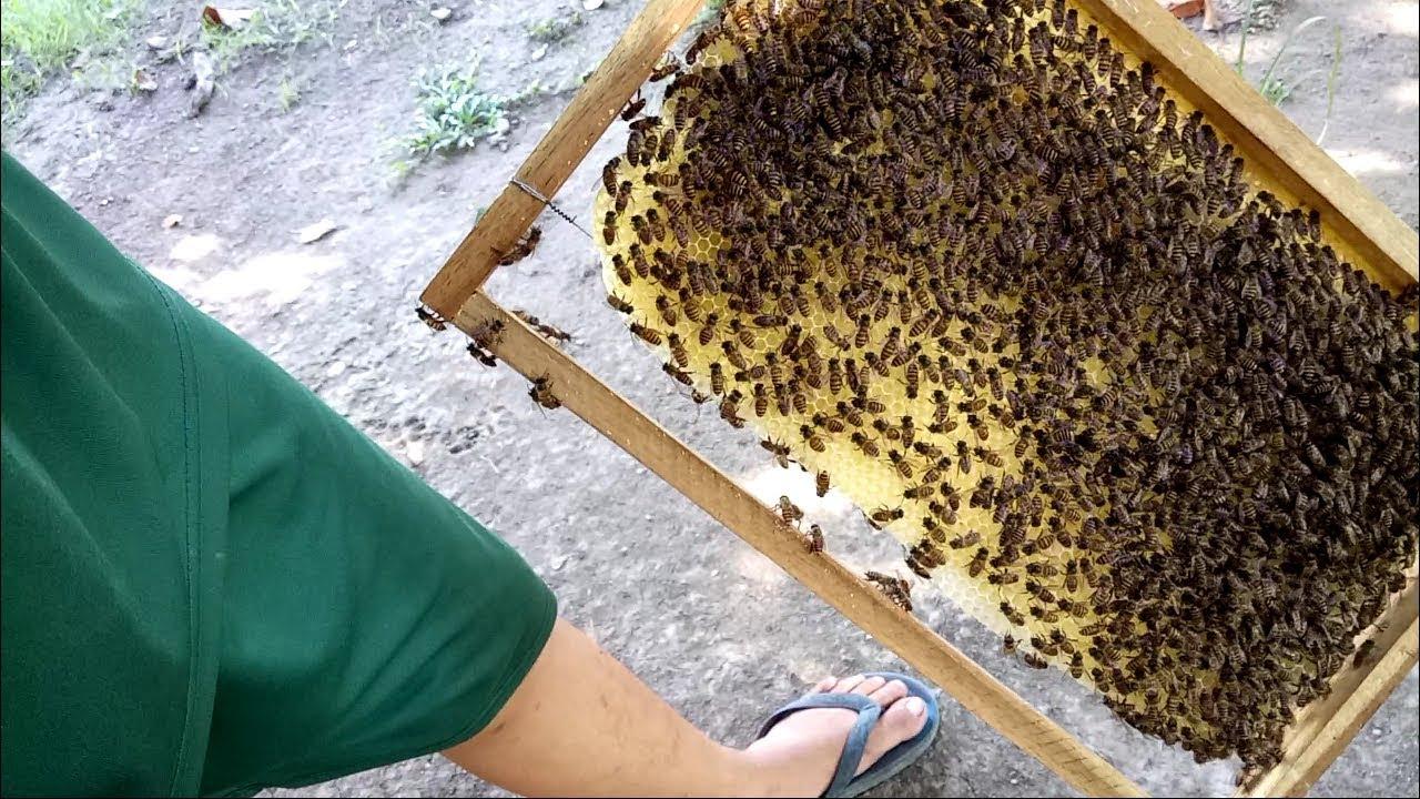 Đàn ong vẫn xây cầu rất tốt lúc không có thức ăn và vừa khỏi trúng thuốc