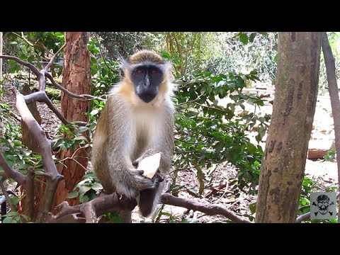 Barbados Wildlife Reserve Green Monkeys excursion Royal Caribbean
