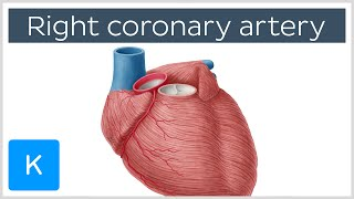 Right coronary artery - Function, Definition & Diagram - Human Anatomy | Kenhub