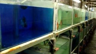 Breeding stock discus from Lucky Tropical Fish Farm
