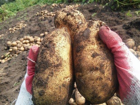 Вопрос: Сорт картофеля Венета описание, характеристики какие?