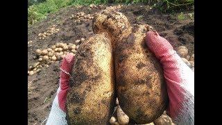Супер урожайные сорта картошки Результаты