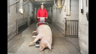 Porky's Pick Up carcass trolley for sows