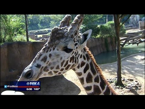 Thumbnail: Questions after Dallas Zoo baby giraffe death