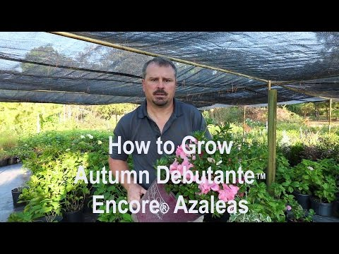 How To Grow Autumn Debutante™ Encore® Azaleas With Detailed Description