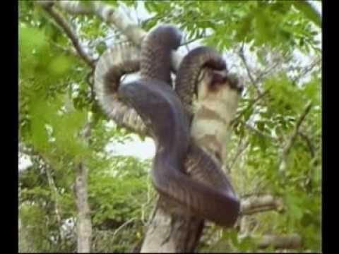 Steve Irwin - Most Dangerous Encounters (Part 6)