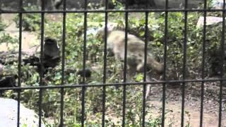 Израиль -- Рамат-Ган -- Сафари - Зоопарк Павианы и волки(Домашнее видео -- День 2-ой -- 13 мая 2013 г. -- Израиль -- Рамат-Ган -- Сафари - Зоопарк Павианы волки - 2013.05.13 mon -0390..., 2013-06-02T13:23:23.000Z)