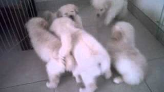 Puppies For Sale. Mix Golden Retriever + Samoyed