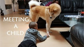 AKITA INU  Meeting A Child | 秋田犬
