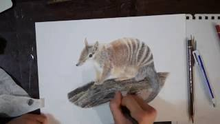 A Numbat Speed Drawing