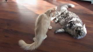Агрессивный котенок нападает.Aggressive kitten attacks.