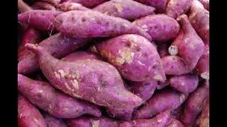 Com serragem, um pé produz quase 200 batatas