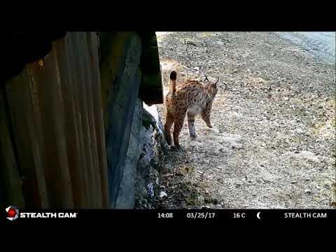Eurasian lynx marking a forest cabin in Slovenia