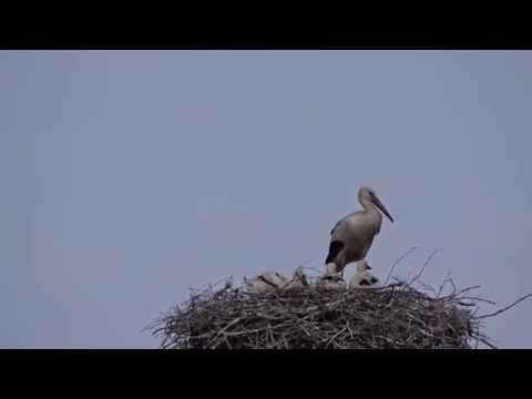Vallstedter Storch