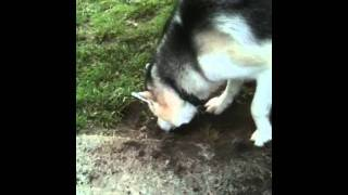 Tonka The Siberian Husky's Landscape Job