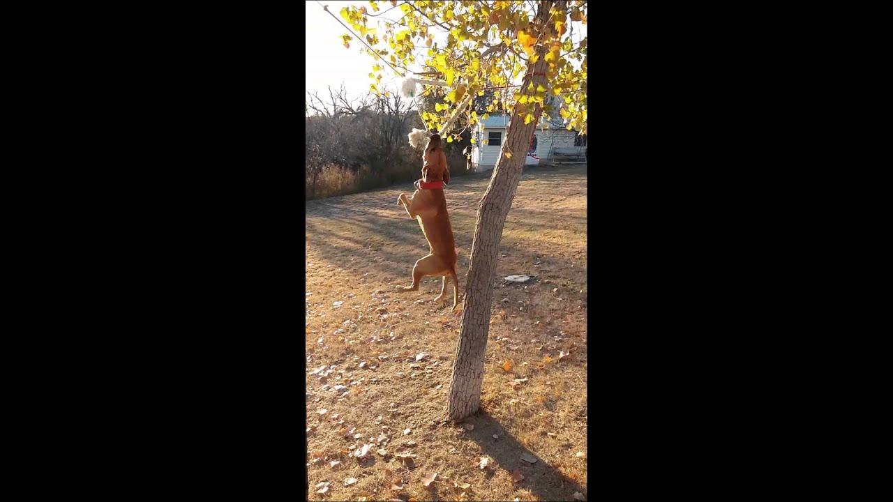 Nigerino/Chinaman apbt dog climbing tree  - YouTube