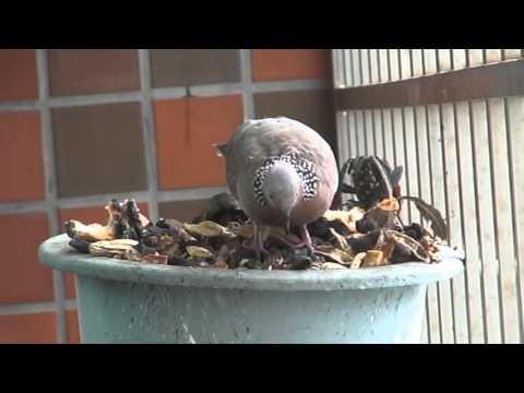 窗台上的訪客 16012103 (珠頸斑鳩)