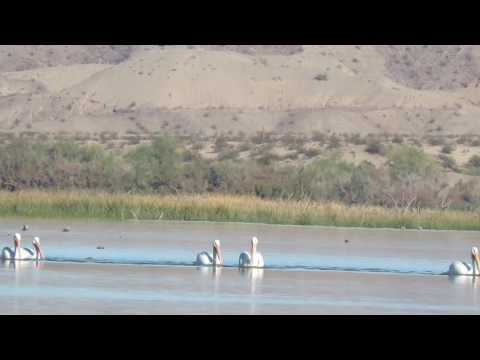 American White Pelicans on Topock Marsh, Havasu National Wildlife Refuge