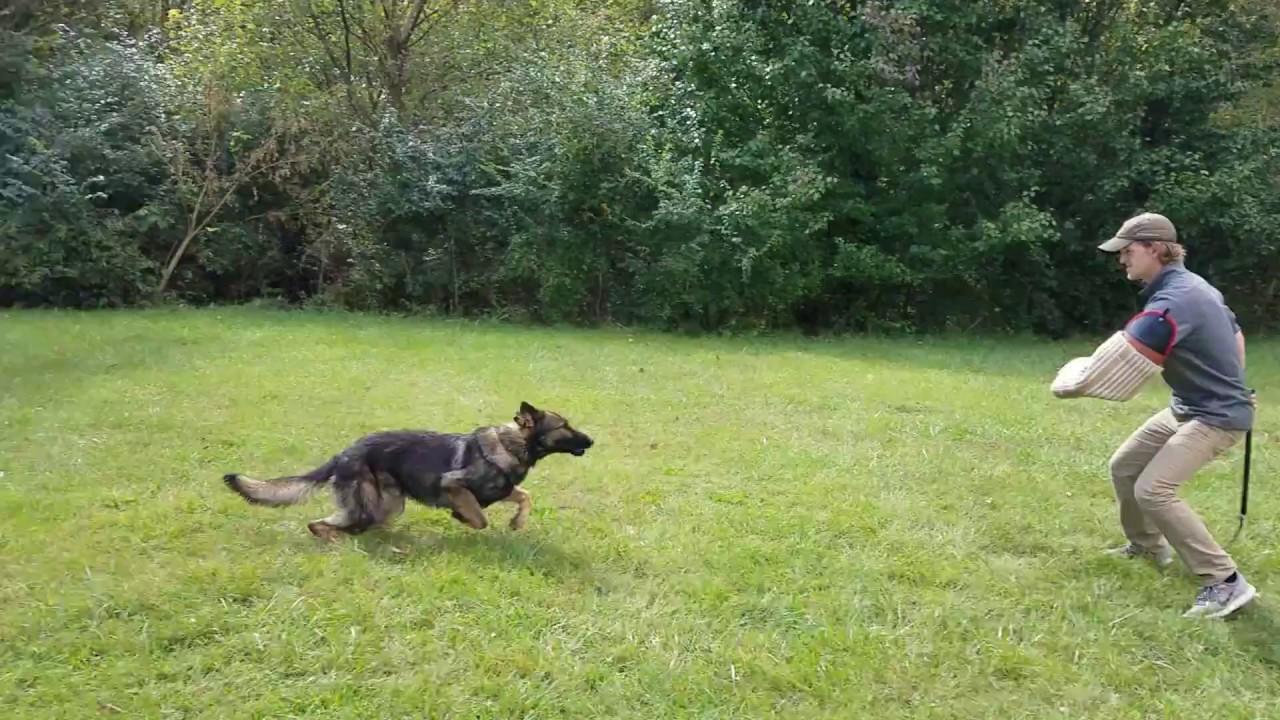 Graham off leash bite work, K9 Unleashed, Protection Dog
