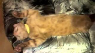 Kot udający martwego