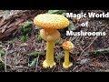 Magic of Mushrooms -  A Documentary