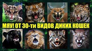 Как мяукают и рычат 30 видов диких кошек мира🐱 Кошачьи разговоры