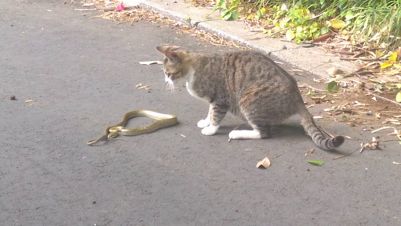 Cat fighting with a snake