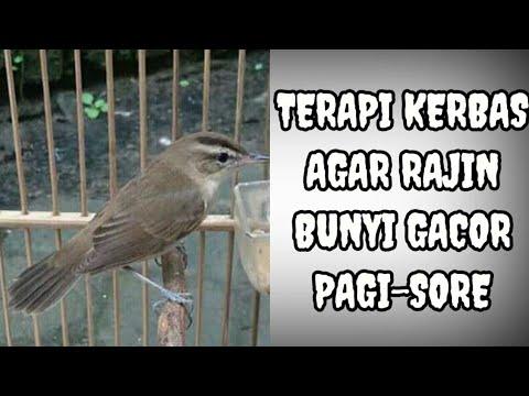 Download Suara Burung Kerak Basi Ramai Cocok Untuk Masteran Mp3 2 4 Mb Kicau Siburung Com Cute766