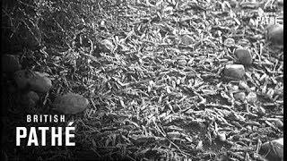 Selected Originals - News Flashes - Morocco - Locusts Invasion (1954)