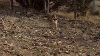 ShamuTV: Wolves - Bringing Back the Mexican Gray Wolf HD