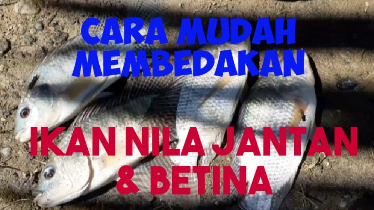Ikan Nila Jantan Dan Betina Youtube