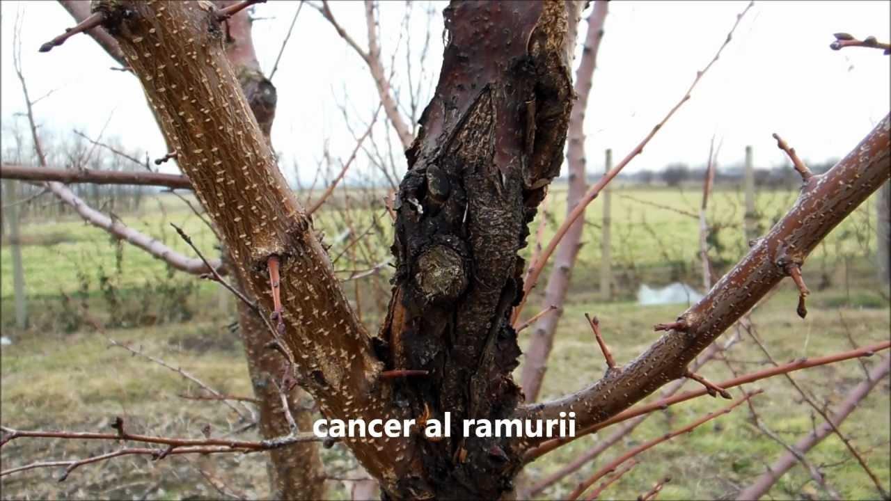 cancerul pomilor fructiferi