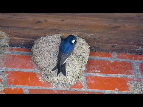 [Common] House Martins or Northern House Martins (Delichon urbicum) / Mehlschwalben