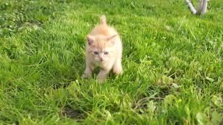 Рыжий котенок-метис британки