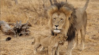 Documentary lion: lion africa predators - Animal Film genre