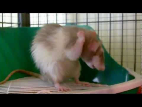 Ratties Clean Themselves After A Bath