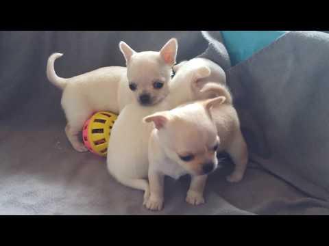 Chihuahua pups playing