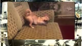 Смешные собаки Карликовый пинчер Тобо беснуется и кусается