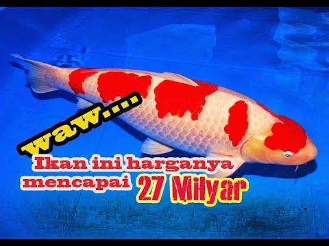 hqdefault - Jenis Ikan Koi Termahal Di Dunia