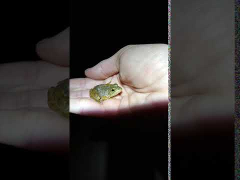 baby-bullfrog