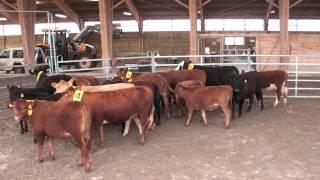 Randals bison 2011 : Arrivée des vaches