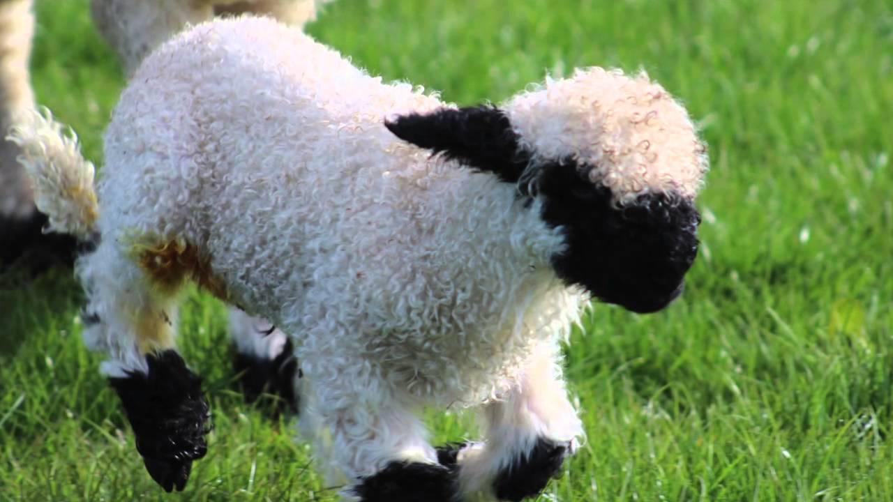 Spring Sheep And Lamb Highlands Of Scotland - YouTube